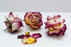 Rose rosa e bianche secche Fotografia Stock Libera da Diritti