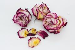 Rose rosa e bianche secche Immagine Stock Libera da Diritti