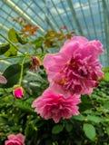 Rose rosa e Rose Bud rosa fotografia stock libera da diritti