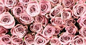 Rose rosa, immagine del primo piano, come fondo Immagini Stock Libere da Diritti