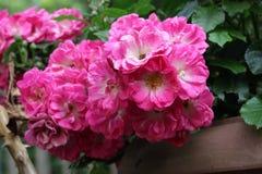 Rose rosa miniatura Fotografie Stock