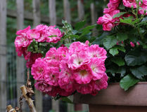 Rose rosa miniatura Fotografia Stock