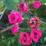 Rose rosa minuscole Fotografia Stock