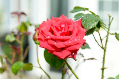 Rose rosa Mister Lincoln flower with raindrops on petals. Red rose rosa Mister Lincoln flower with raindrops on petals Stock Photos