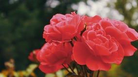 Rose rosa nel parco, giardino floreale, rose tenere che crescono nel giardino archivi video