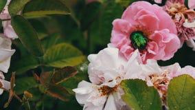 Rose rosa nel parco, giardino floreale, rose tenere che crescono nel giardino video d archivio