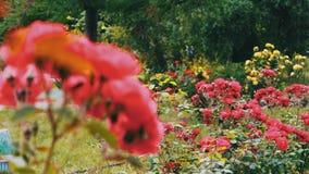 Rose rosa nel parco, giardino floreale, rose tenere che crescono nel giardino stock footage