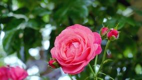 Rose rosa nelle gocce di pioggia su un fondo verde il movimento della macchina fotografica intorno al fiore vi dà l'opportunità d archivi video