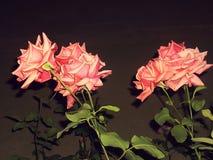 Rose rosa nello scuro Fotografia Stock Libera da Diritti