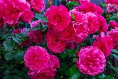 Rose rosa scure in un giardino Rosarium Uetersen Immagini Stock Libere da Diritti