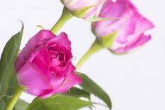 Rose rosa su fondo bianco Immagine Stock