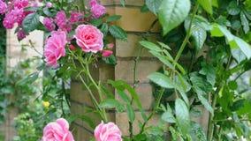 Rose rosa su un fondo di un muro di mattoni Macchina fotografica dello zoom video d archivio