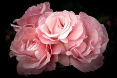 Rose rosa sui fiori d'annata molli e romantici scuri del fondo, Immagine Stock Libera da Diritti