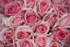 Rose, Rosaceae Stockfotografie