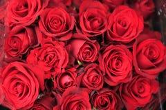Rose, Rosaceae Photo libre de droits