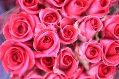 Rose, Rosaceae Photo stock