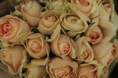 Rose, Rosaceae Stockfoto