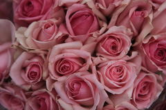 Rose , Rosaceae Stock Image