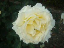 Rose- Rosaceae Stock Photography