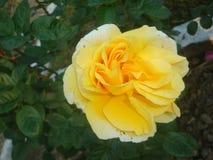 Rose- Rosaceae Stock Image