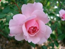 Rose, Rosaceae, Flower, Pink Royalty Free Stock Images