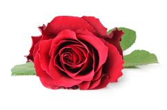 Rose Rosaceae isolated, including clipping path without shade. Rose Rosaceae isolated on white background, including clipping path without shade, Germany Stock Image