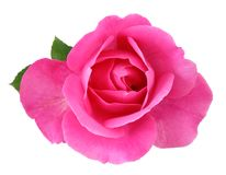 Rose Rosaceae isolated on white background, including clipping path. Germany Royalty Free Stock Photos