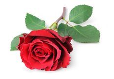 Rose Rosaceae isolated on white background, inclusive clipping path without shade. Rose Rosaceae isolated on white background, inclusive clipping path without Royalty Free Stock Photos