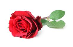 Rose Rosaceae  on white background, including clipping path without shade. Rose Rosaceae  on white background, including clipping path without shade, Germany Stock Photos