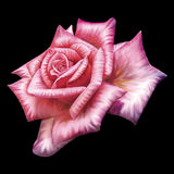 Rose rosada Imagen de archivo