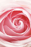 Rose rosada Imagenes de archivo
