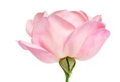 Rose rosada imagen de archivo libre de regalías