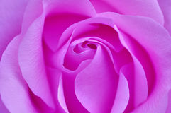 Rose rosada Fotos de archivo libres de regalías