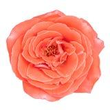 Rose rosada aislada Foto de archivo