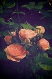 Rose rosada antigua Imagenes de archivo