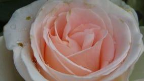 Rose rosada de marfil completamente abierta con los puntos negros Rose Diseases fotos de archivo libres de regalías