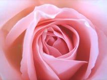 Rose rosada delicada Foto de archivo libre de regalías