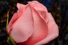 Rose rosada en el backgound de Bokeh Ciérrese para arriba con descensos de rocío Fotos de archivo libres de regalías