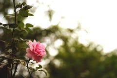 Rose rosada en el jardín Imágenes de archivo libres de regalías