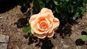Rose rosada en el jardín imagen de archivo libre de regalías