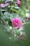 Rose rosada en el jardín Fotografía de archivo