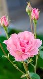 Rose rosada en la rama en el jardín Imagen de archivo