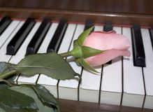 Rose rosada en los claves del piano Imagen de archivo libre de regalías