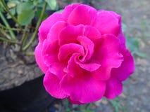 Rose rosada hermosa foto de archivo