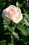 Rose rosada hermosa Imágenes de archivo libres de regalías
