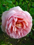 Rose rosada suave Imagenes de archivo