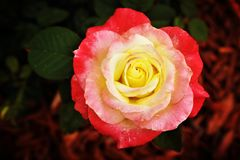 Rose rosada y amarilla en el pajote rojo imagen de archivo libre de regalías