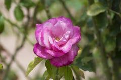 Rose rosada y blanca brillante en la plena floración Imágenes de archivo libres de regalías