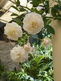 Rose stockfotografie