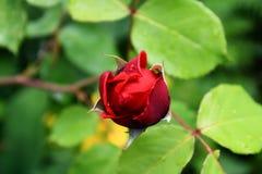 Rose lizenzfreie stockbilder